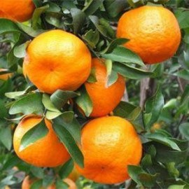 E-liquide goût saveur Mandarine pour votre cigarette électronique